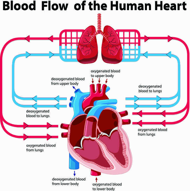 Diagram showing the human heart and circulation of blood